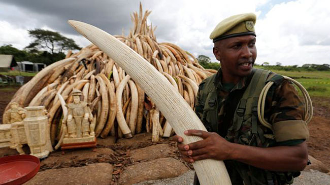 Can Burning Elephant Tusks Help In Protecting African and Asiatic Elephants?