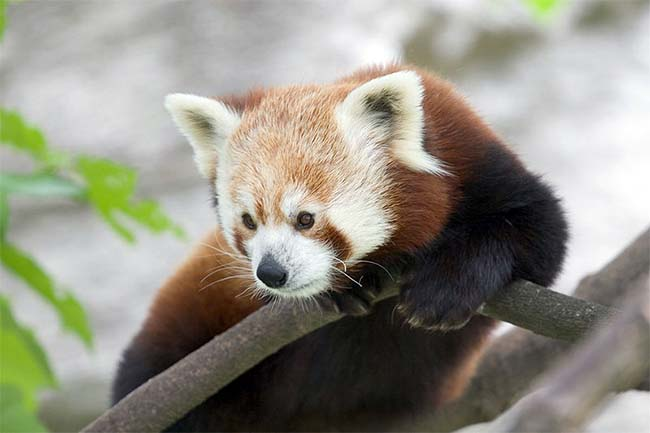 Challenges of Red Panda Conservation in India