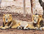 Conservation Challenges for Endangered Asiatic (Indian) Lions in South Asia