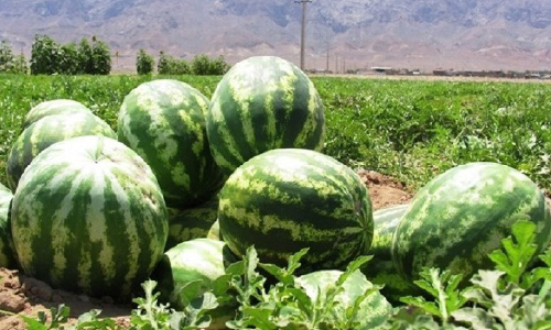 2,000 Tons of Afghan  Watermelon to be  Exported to Azerbaijan